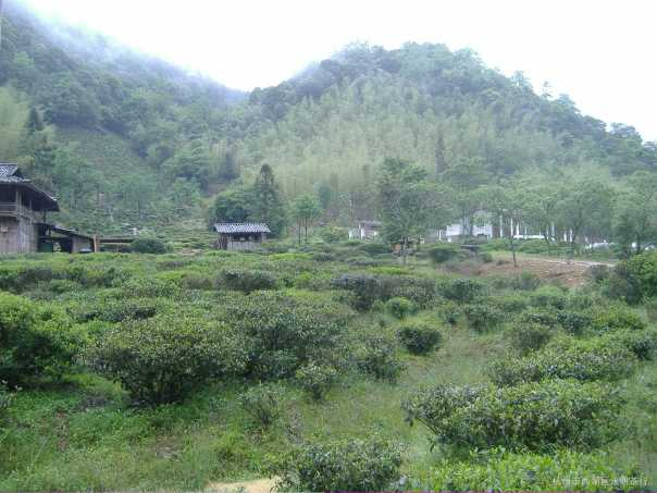 The bushes from which our Jin Jun Mei was made, photo taken March, 2013, Wuyi County, Fujian Province, China