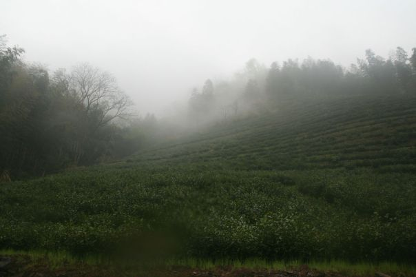 The tea bushes from which our 2013 Tai Ping Hou Kui was made. Photo taken April, 2013, Huang Shan Mountain region, Anhui Province, China