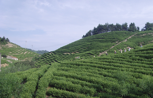 White tea fields in Fuding, Fujian, ChinaWhite tea fields in Fuding, Fujian, China