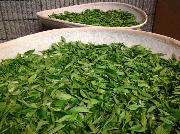 The fresh tea leaves, laid out, ready for processing.