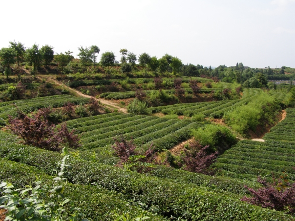 Tea fields in Anhui province, China