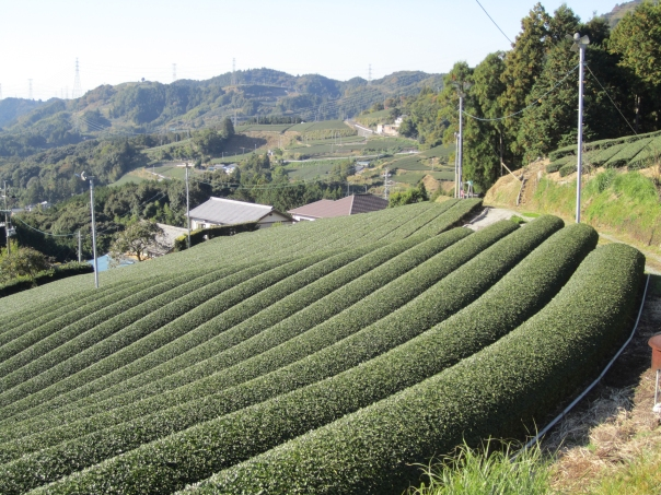 Tea fields in Japan