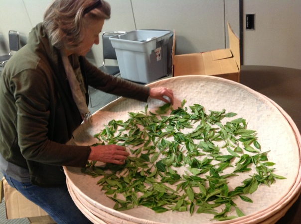 Donna Fellman of World Tea Academy unpacking and sorting fresh leaves for our hands-on tea processing class.